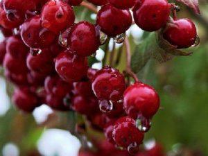 Названа ягода, которая тонизирует кровеносные сосуды и нормализует артериальное давление