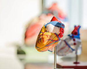 Ученые выяснили, почему ночью сердце замедляется