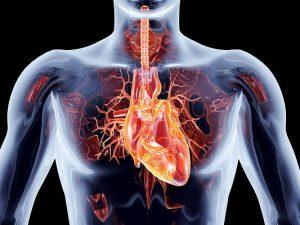 Названо вещество для нормальной работы сердца